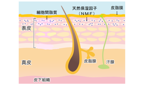 肌にもともとある保湿成分